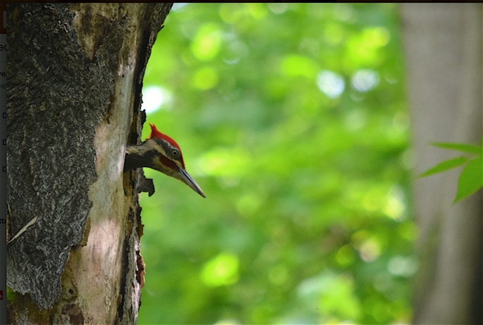 Red Pileated Woodpecker.jpg